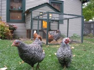 austin backyard chickens